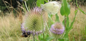 Butterfly bee teazle banner