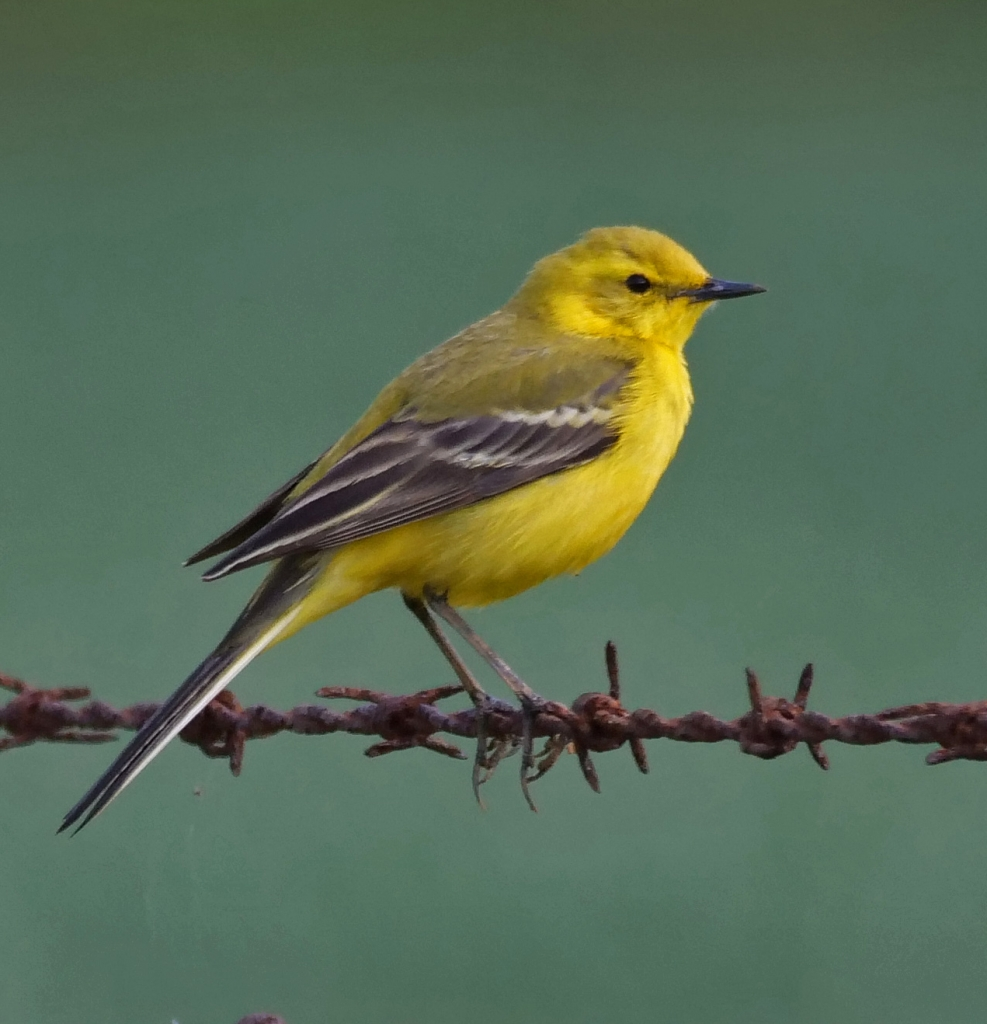 This image has an empty alt attribute; its file name is yellow-wagtail-2019-MP-e1589288101507-987x1024.jpg